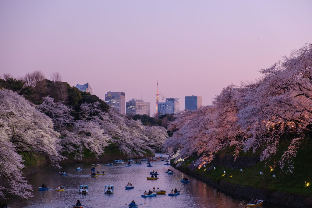 Cherry blossom trees in Tokyo at sunset